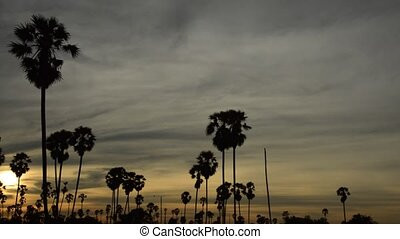 silhouette, toddy, arbre, champ ciel, paume, coucher soleil, paddy