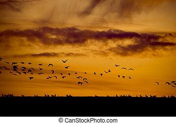 silhouette, vögel fliegend, sonnenuntergang
