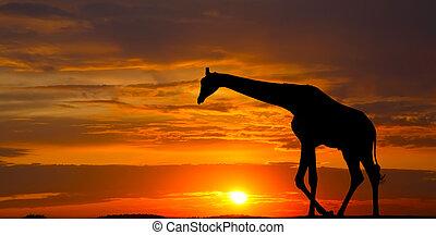 silhouette, van, een, giraffe, tegen, een, mooi, ondergaande zon