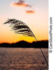 silhouette, von, a, schöne , pflanze, auf, der, ufer, an, dämmerung