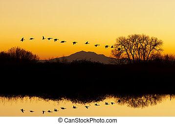 silhouette, von, gänse, fliegendes, an, sonnenuntergang