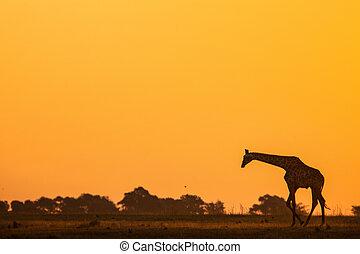 silhouetted giraffe