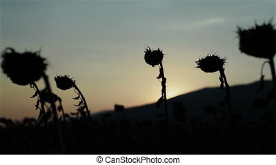 Silhouetted heads of dry sunflowers in field against sunset...