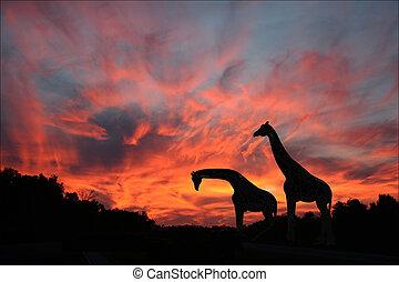 silhouetted, ocaso, jirafas