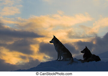 silhouetten, von, zwei, wölfe, (dogs)