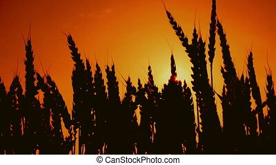 silhouettes, blé, oreilles