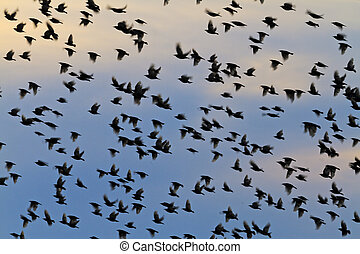 silhouettes of a flock of starlings in the evening sky