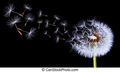 Silhouettes Of Dandelions - Sillouettes dandelion on black...