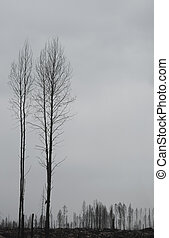 Silhouettes of dead trees after forest fire