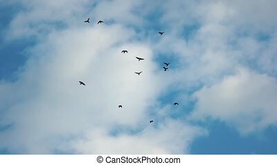 Silhouettes of flying birds. Gulls, sky and clouds. Study of...