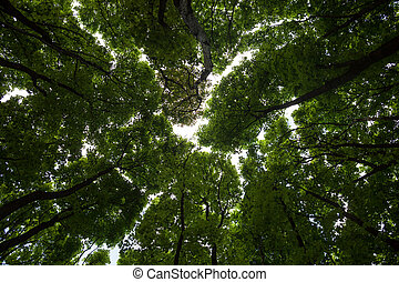 Silhouettes of green maple treetops