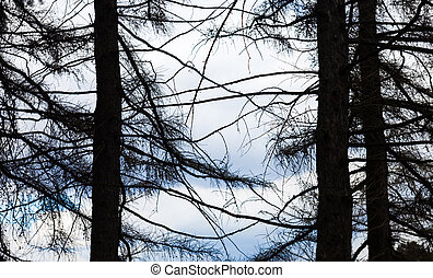 Silhouettes of three coniferous trees