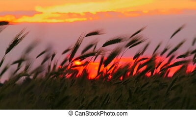 Silhouettes of wheat