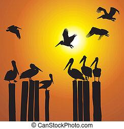 silhouettes, pélicans, coucher soleil