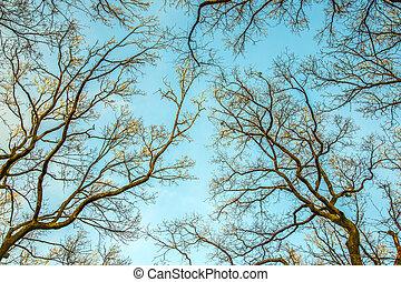 silhuetas, carvalho, árvores