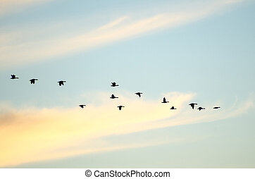 silhuetas, voando, gansos