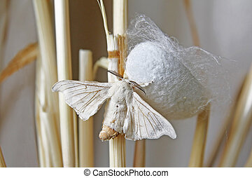Silk Moth on Cocoon
