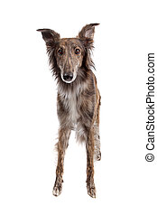 Silken Windhound in front of a white background