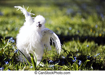 Silkie hen getting ready to the next round