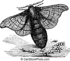 Silkmoth or Bombyx mori, vintage engraving - Silkmoth or...