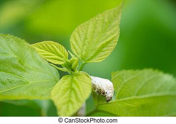silkworm - Close up Silkworm eating mulberry green leaf
