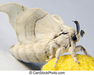 silkworm moth posing - silkworm moth resting on a cocoon