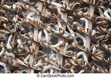 cocoon - Silkworms are cocooning. Cocoons are the raw ...