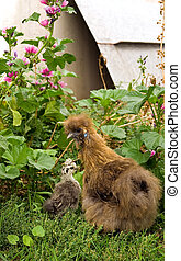 Silky Hen and Chick - A silky hen and a young silky chick