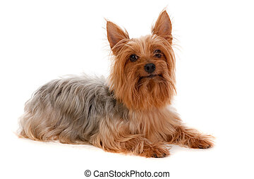 Silky Terrier - An adorable golden brown silky terrier lying...
