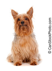 Silky Terrier - An adorable golden brown silky terrier sits...