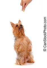 Silky Terrier - An adorable silky terrier begging for a...