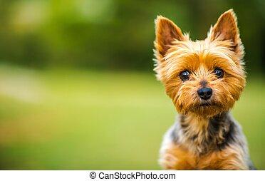 Silky Terrier Portrait - Australian Silky Terrier Outdoor...