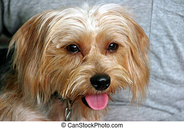 silky terrier  - a small adorable silky terrier puppy dog