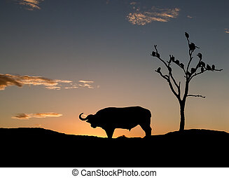 Sillouette of buffelo and vultures on sunset in Africa