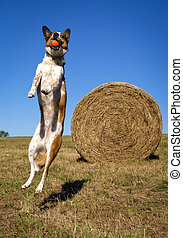 Silly dog jumping in mid air