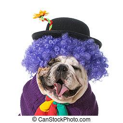 silly dog wearing clown costume on white background - english bulldog