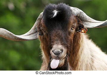 Silly Goat - Canary Island long-horned goat pulling a silly...