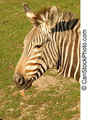 silly zebra