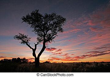 silueta, árvore acacia
