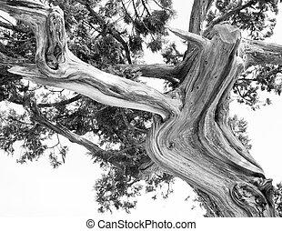 silueta, abstratos, árvore, pinho, árvore., ramos