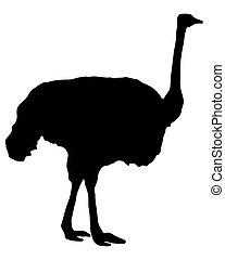 silueta, avestruz