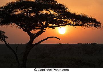 silueta, o, jeden, strom, do, východ slunce