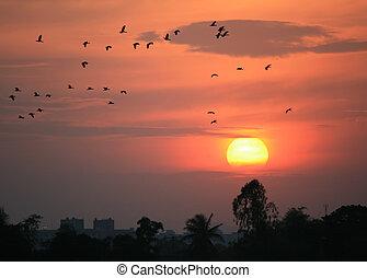 silueta, pássaros voando, em, pôr do sol