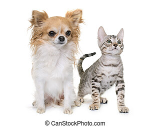 silver bengal kitten and chihuahua