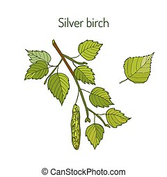 Silver birch branch with leaves - Silver birch branch with...