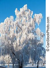 Silver birch in hoarfrost - frost