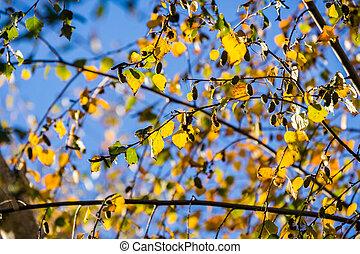 Silver Birches (Betula pendula) colorful autumn leaves on a...