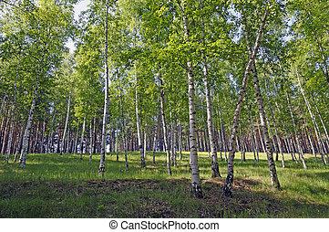 Silver Birchs