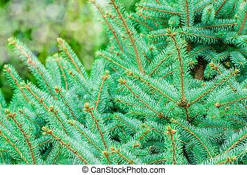 Silver, blue spruce pine, fir tree