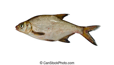 silver bream lake fish closeup isolated on white